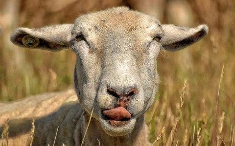 За кражу стада овец численностью более 50 голов жительница Среднеахтубинского района может получить 6 лет тюрьмы