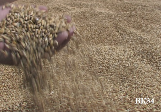 4,26 миллиона тонн зерна намолочено в Волгоградской области в 2016 году - сев озимых приостановлен из-за дождей