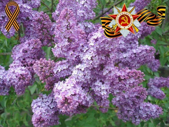 В оранжерее Волжского пересадят сирень Победы