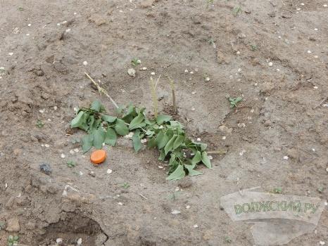 В городе-спутнике Волгограда вандалы залили «Сирень Победы» соляркой