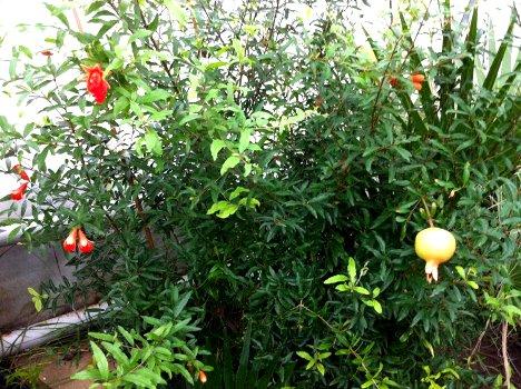 В Волгоградском ботаническом саду созрели карликовые гранаты